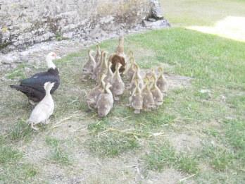 Canards et canetons